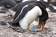 Gentoo penguin (Pygoscelis papua) feeding its chick at Saunders Island, the Falklands.