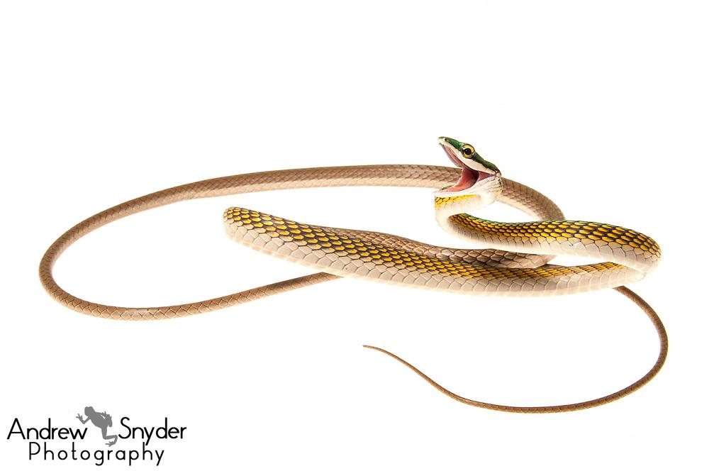Parrot snake (Leptophis ahaetulla) -Dadanawa Ranch, Guyana.