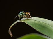 Metallic green sweat bee (Augochloropis ignita), Cocobolo Nature reserve, Panama