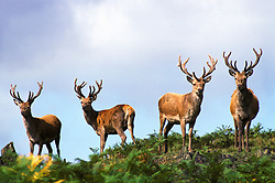 Four red deer stags (Cervus elaphus) with antlers covered in velvet, Leicestershire, England, UK.<br /> Photo © Ed Maynard<br /> +44 (0) 7976 239804<br /> www.edmaynard.com<br /> mail@edmaynard.com
