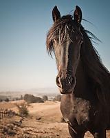 Friesian horse (mare) at leisure on a large ranch in Petaluma, California, USA.