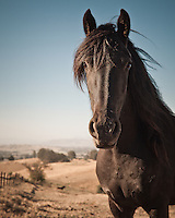 Friesian horse (mare) at leisure on a large ranch in Petaluma, California, USA.