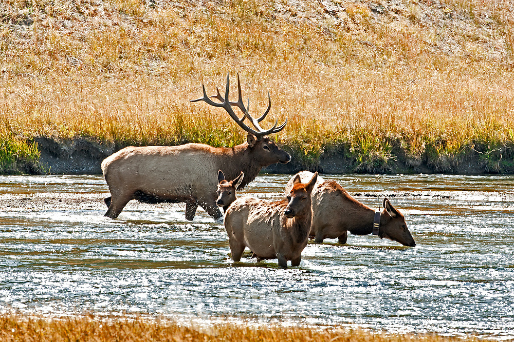 A Bull Elk herds a few of his cows across the river to the rest of his harem so he can keep them from other Suters this group has a cow with a radio collar.