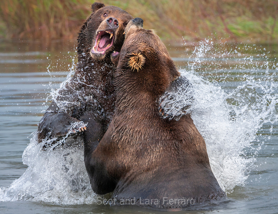 Brown Bears (Ursus arctos) Playing: Katmai National Park in Alaska, United States. We visited Brooks Lodge in September when the bears are feeding on spawned out salmon.  By this time they have gained some of their winter weight and feeding is not as intense. Some bears even take time to play.  The bear whose back you see in this photo was particularly playful as we enjoyed watching him instigate several play sessions with other bears particularly females without cubs.
