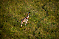View from Above - Masai Giraffe - Masai Mara Game Reserve, Kenya, Africa: This image was taken of a Masai Giraffe from a hot air balloon. The giraffe seemed very curious of the balloon as it floated high above, giving a unique perspective of the giraffe from up above.