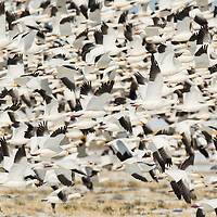 massive group of snow geese lifting off, close up of snow geese flying, frame full of snow geese, thousands of snow geese
