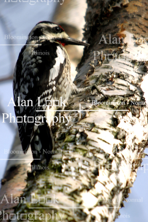 Woodpecker (Photo by Alan Look)