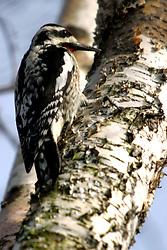 Woodpecker (Photo by Alan Look)