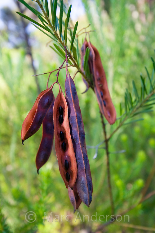 Seed pods hanging on a plant (acacia), Royal National Park, Sydney, Australia