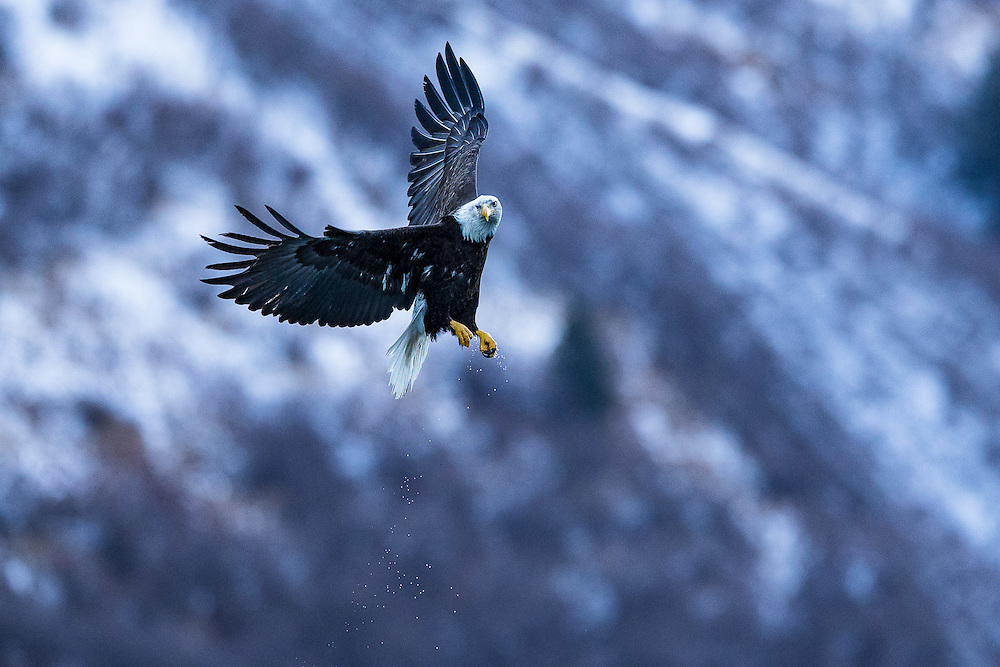 Bald eagle shooting in Homer Alaska