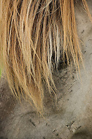 Konik horse, close-up of mane. Oostvaardersplassen, Netherlands. June. Mission: Oostervaardersplassen, Netherlands, June 2009.