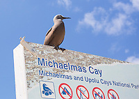 Common Noddy (Anous stolidus) perched on a National park sign at Michaelmas Cay, Great Barrier Reef, Australia