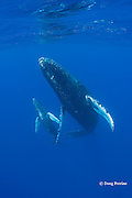 humpback whales, female calf surfaces in tandem with male escort ( mother is resting below and to side, out of frame ); Megaptera novaeangliae, Maui, Hawaii ( Central Pacific Ocean ); caption must include notice that photo was taken under NMFS research permit #15274