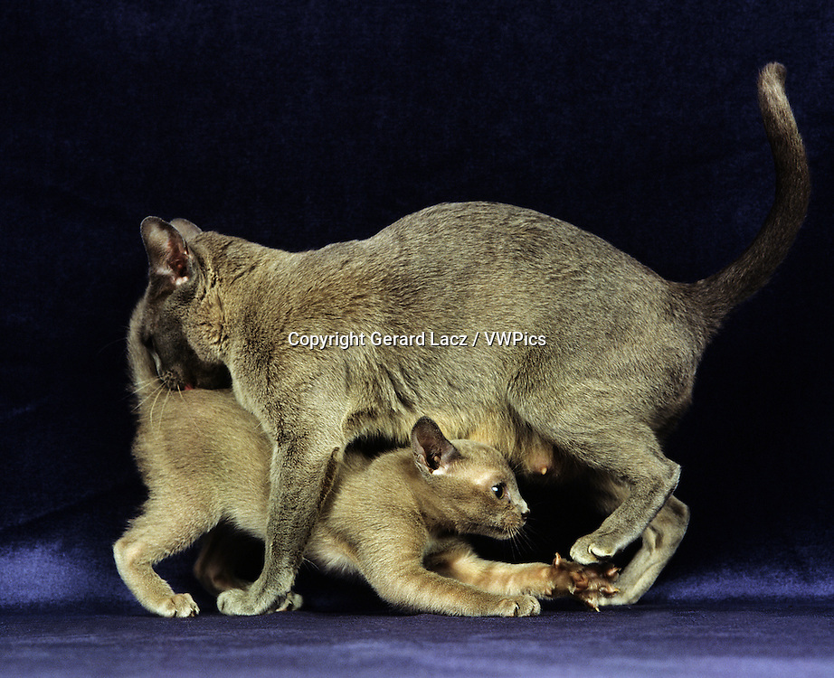BLUE BURMESE DOMESTIC CAT, MOTHER PLAYING WITH KITTEN