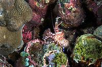 A Marble Shrimp crawls on algae covered rocks<br /> <br /> Shot in Indonesia