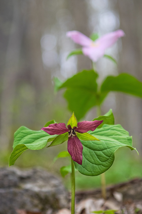 Red and white trillium stand together in Spring along the West Virginia Highlands Scenic Highway.