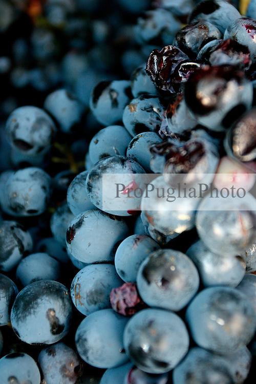"""Tipica uva da negramaro raccolta e posizionata nelle """"tinelle"""". Questuva è cresciuta su di un vigneto ad alberello pugliese nelle campagne di San Pancrazio Salentino in provincia di Brindisi."""