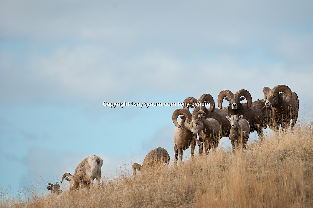 group bighorn rams, big sky wild rocky mountain big horn sheep