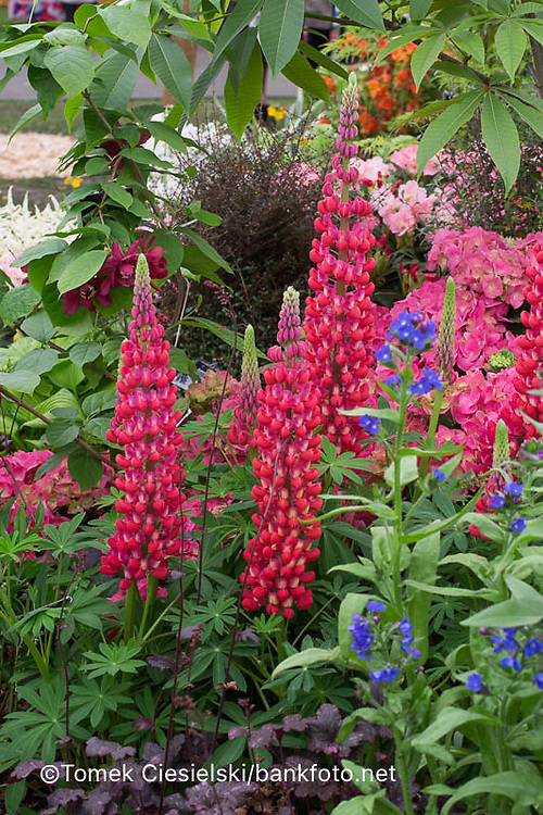 Lupinus 'The Pages'