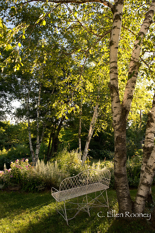 Birch trees, borders and vintage garden furniture in artist Katherine Bowling's cottage stylegarden in Potter Hollow, New York S, U.S.A.