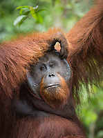 A wild, dominant male Bornean orangutan (Pongo pygmaeus) scratching his head in Tanjung Puting National Park, Borneo, Indonesia.