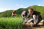 France, Languedoc Roussillon, Cévennes, Gard, culture d'oignons doux des Cévennes,  récolte des jeunes plants pour le repiquage, famille Patrick Journet, vallée de Taleyrac