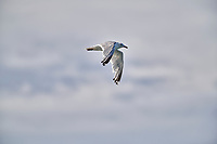 Herring Gull (Larus argentatus) in flight, Crescent Beach, Nova Scotia, Canada