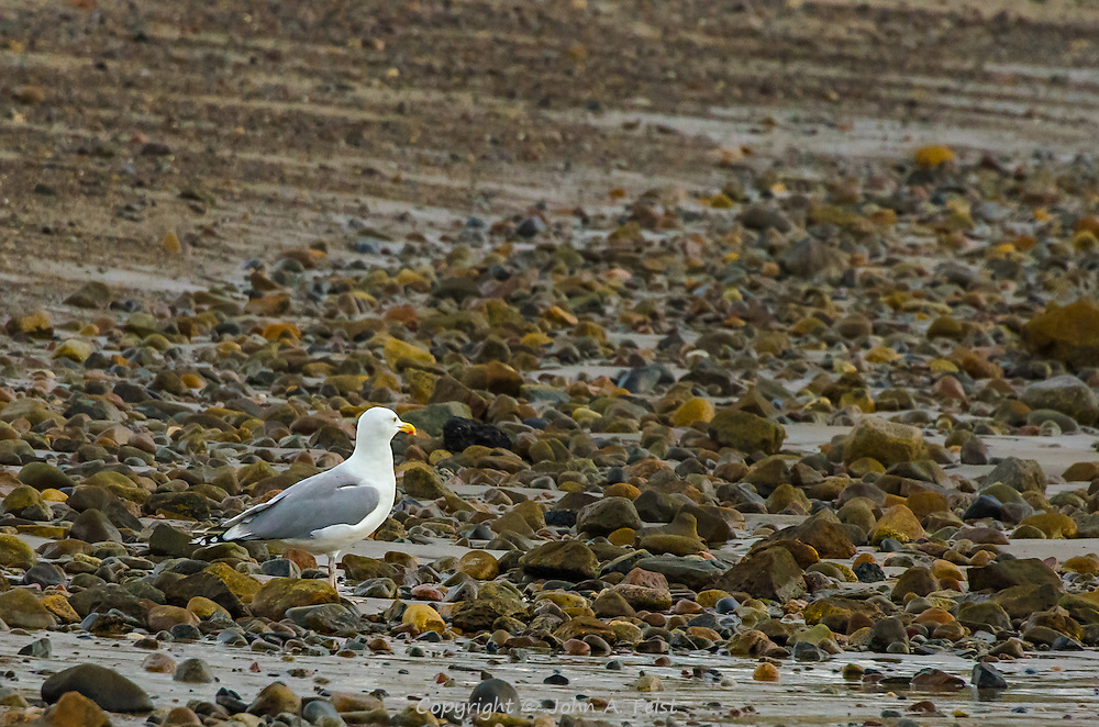 It's low tide on Cape ann.  This gull has wandered out to the rocks the receding tide has exposed.  He appears to be enjoying the sunrise in front of him.
