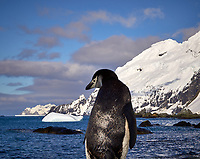 Chinstrap Penguin on Elephant Island.  Image taken with a Leica T camera and 18-56 mm lens (ISO 100, 56 mm, f/16, 1/320 sec). Raw image processed with Capture One Pro, Focus Magic, and Photoshop CC.