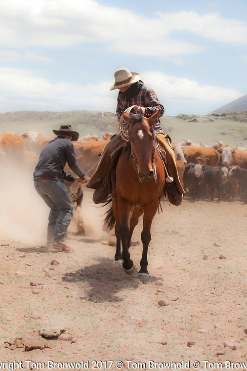 Cowboys moving cattle in to place for the spring roundup inventory count. Spring roundup of the cattle herd for branding,castrating,de-horning and inoculation
