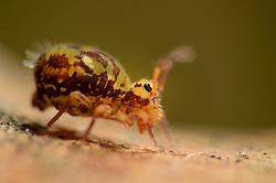 Springtail (Dicyrtomina ornata) Collembola The Biosphere Reserve 'Niedersächsische Elbtalaue' (Lower Saxonian Elbe Valley), Germany | Bunter Kugelspringer (Dicyrtomina ornata) auf Eichenblatt