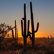 Saguaros at sunset along the Garwood Trail in Saguaro National Park (east section) in Tucson, Arizona