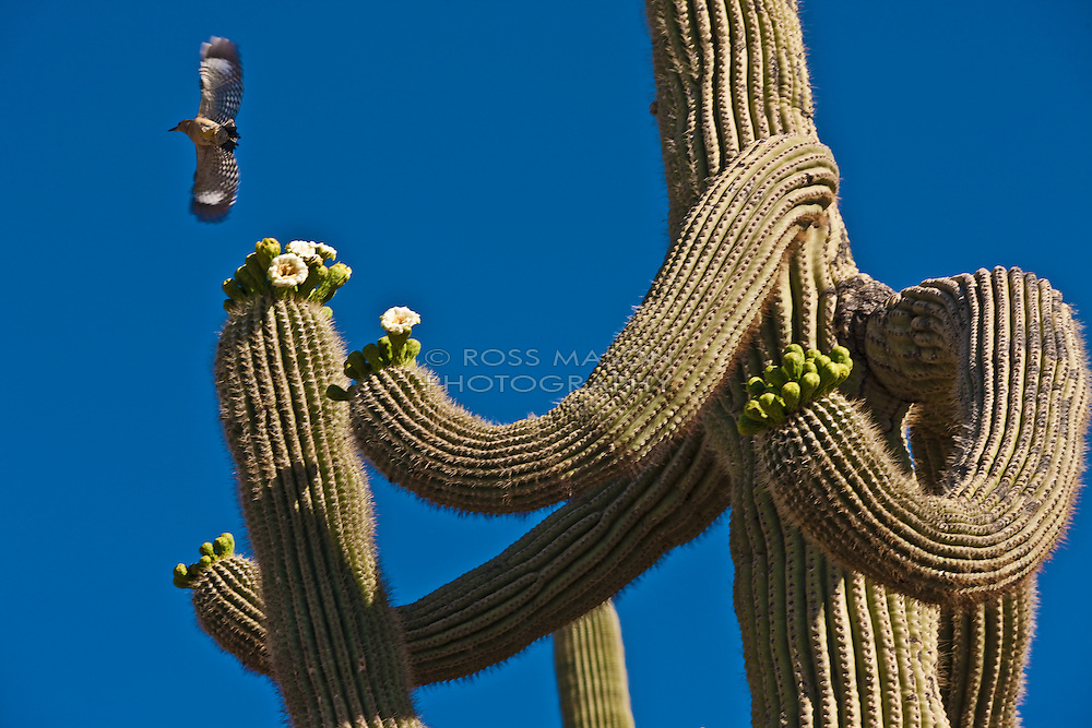 Cactus of the Sonoran Desert in the Phoenix,AZ area.