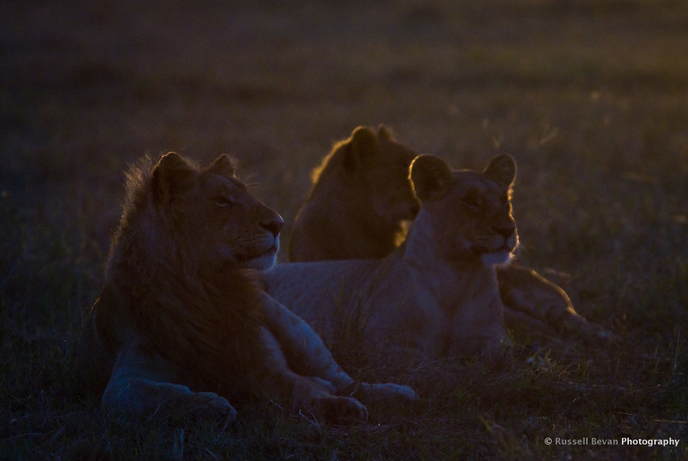 Silhouette of three young lions at dawn in the Masai Mara National Park, Kenya