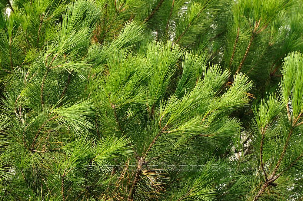 Green pine-needles