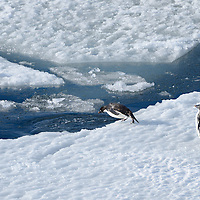 A pair of Adelie Penguins in McMurdo Sound, Antarctica.