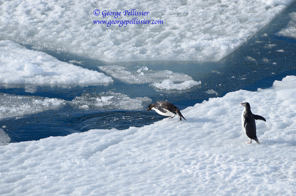 A pair of Adelie Penguins (Pygoscelis adeliae) in McMurdo Sound, Antarctica.
