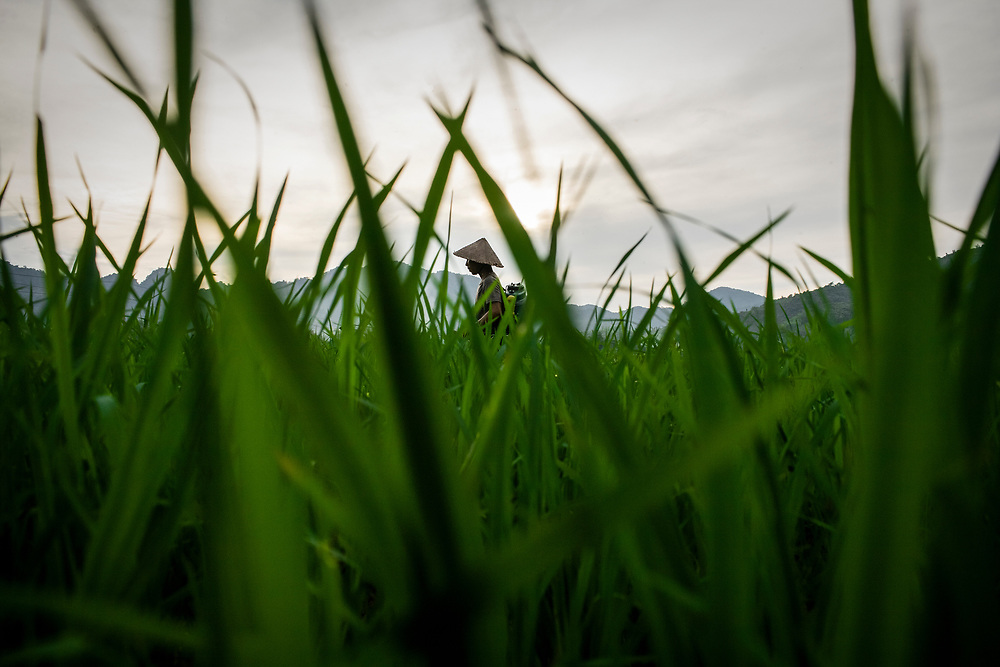 A rice farmer tends to his fields as the sun sets in Hoa Binh Province, roughly 100km from Hanoi, in northern Vietnam.