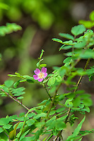 The dwarf rose is a native wild rose in the west that grows in wet, shady forests in British Columbia, Washington, Oregon, Idaho, Montana, Oregon, and California. This was was seen halfway up Larch Mountain just outside of Portland, Oregon.