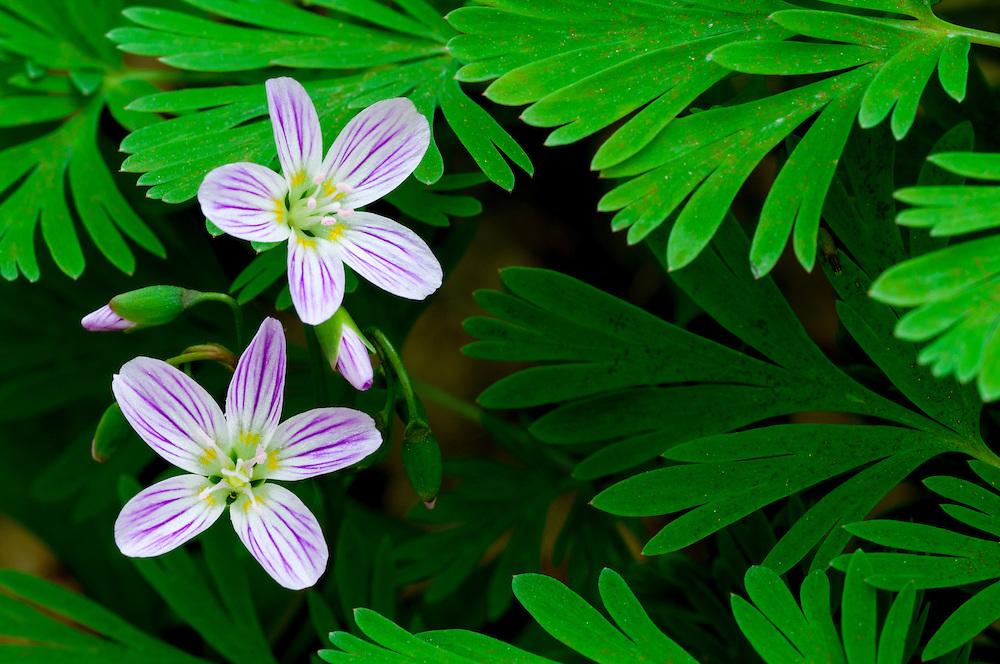 Spring beauties, Claytonia caroliniana, Pictured Rocks National Lakeshore, Grand Marais, Michigan