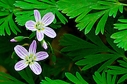 Spring beauties, Claytonia caroliniana, Pictured Rocks National Lakeshore, Grand Marais, Michigan