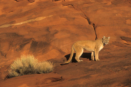 Mountain Lion or Cougar, (Felis concolor) Adult near Moab, Utah.  Red rock country. Captive Animal.