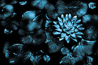 A water lily with the appearance of being in the moonlight.