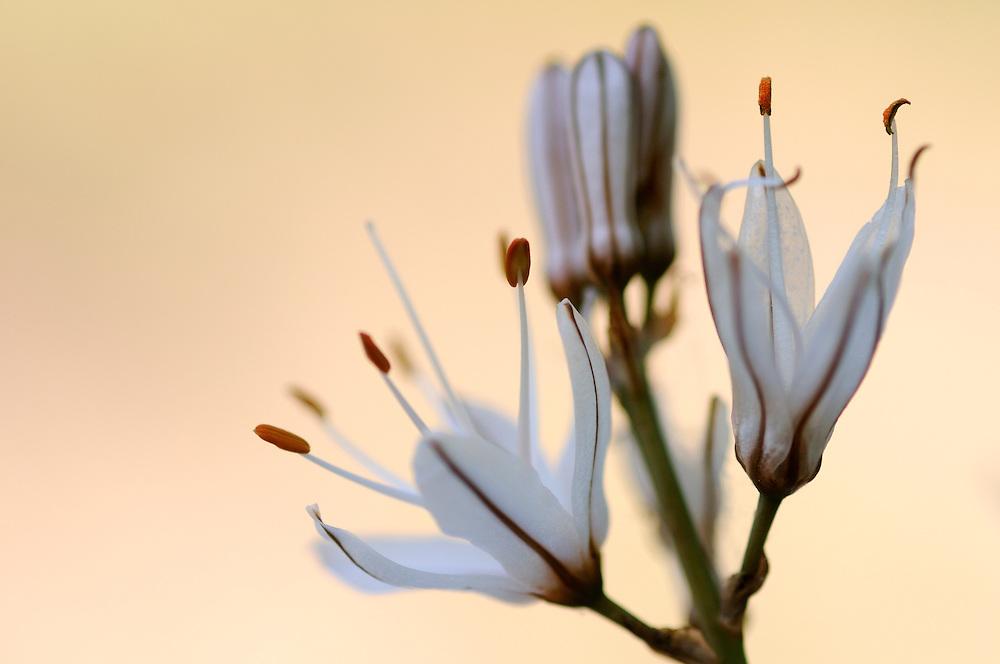 France, Languedoc Roussillon, Gard (30), Cevennes), fleur de Asphodèle rameux, N.L.: Asphodelus ramosus, (Liliacées)