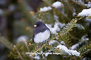 01569-01508 Dark-eyed Junco (Junco hyemalis) in spruce tree in winter, Marion Co., IL