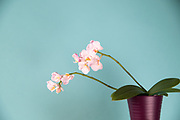 Still Life flowers photo print, orchid, pink petals, white blossom, wall art photography, Santa Monica  limited edition matted print, fine art.