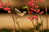 Rufous Hummingbird (Selasphorus rufus) female feeding from Coral Bells (Heuchera), Gabriola, British Columbia, Canada   Photo: Peter Llewellyn
