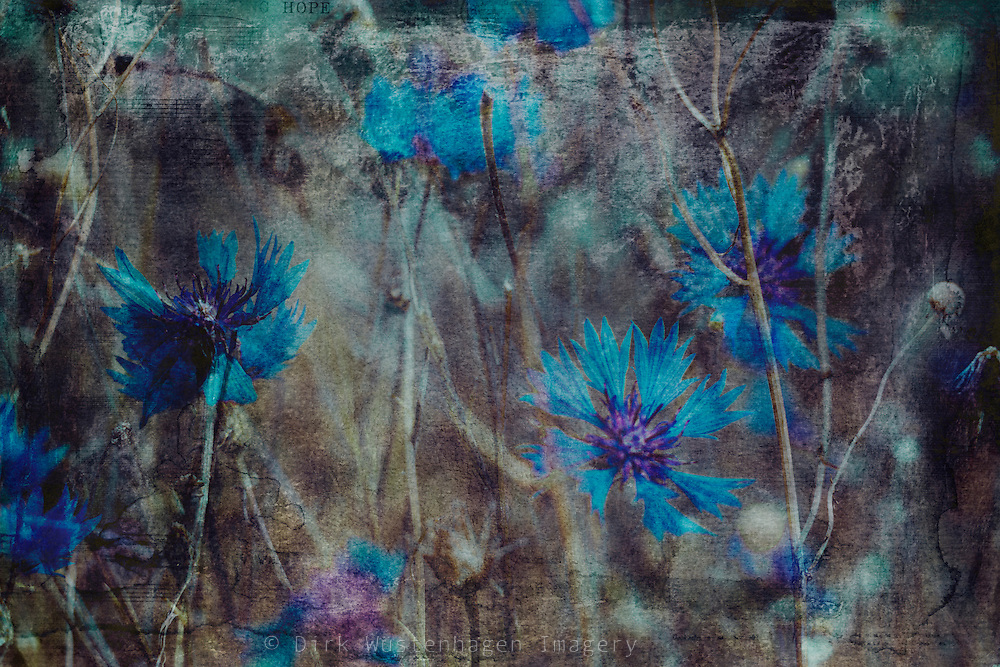 Double exposure of Russian Violets in a field - textured photograph<br /> Society 6 prints: http://bit.ly/2i0mtuW