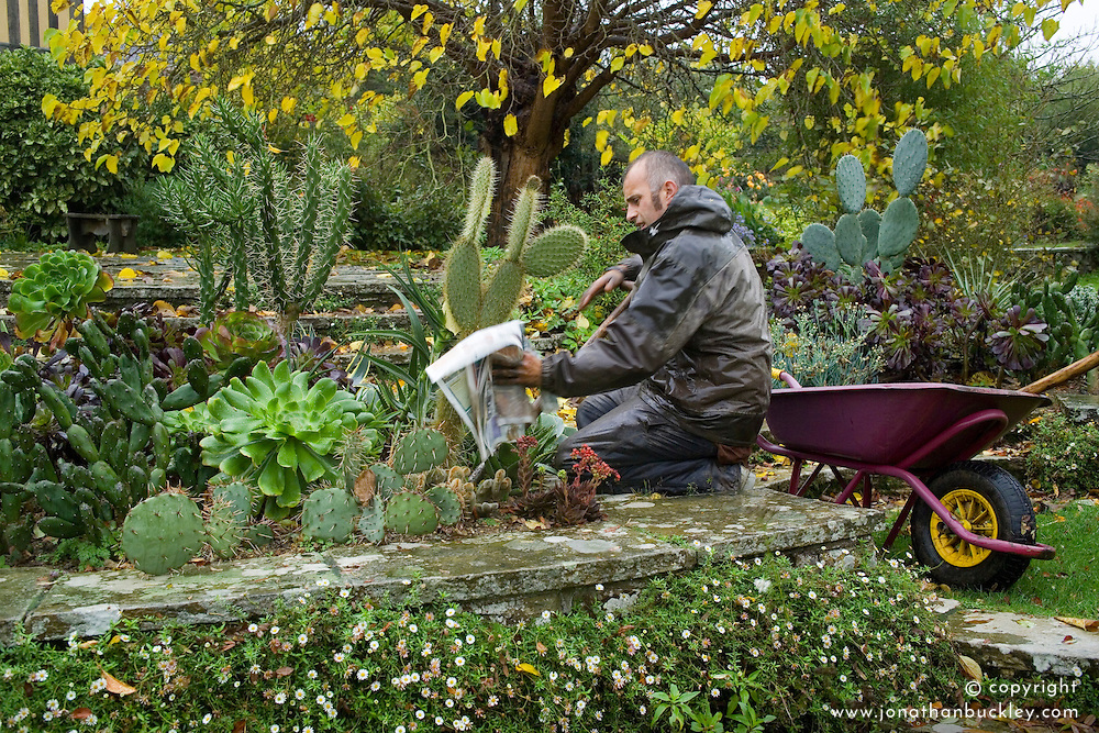 Lifting cacti and succulents for overwintering. Lifting using newspaper for protection