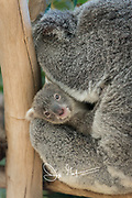 Koalas photographed at a zoo in Australia.